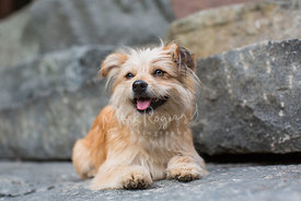 smiling terrier dog lying on rock looking in distance