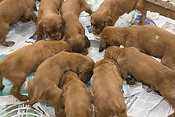 Irish setter puppies feeding