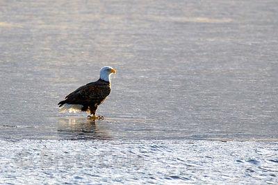 Juvenile Bald Eagle Goes Ice Fishing - Montana Hunting and Fishing ...