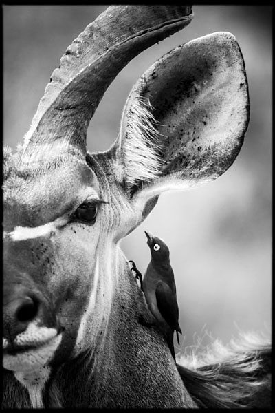 7693-A_bird_is_talking_in_the_ear_of_a_Kudu_Laurent_Baheux