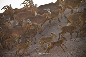 =Barbary Sheep running thru the wildlife reserve near the Desert Islands Resort and Spa on Sir Bani Yas Island.