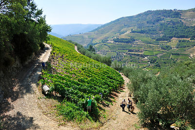 Grapes harvest near Covelinhas. Alto Douro, a Unesco World Heritage Site, Portugal