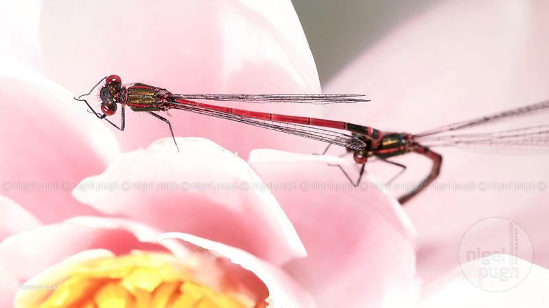 Damselflies photos