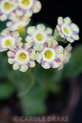 Auricula 'Lord Saye en Sele'. Summerdale House, Lupton, Cumbria, UK