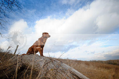 longhaired red setter cross dog sitting on log under sky with clouds