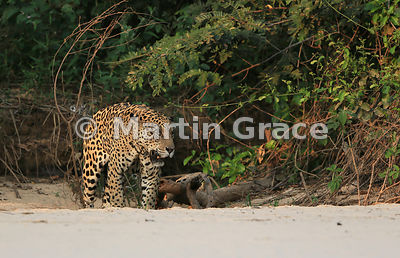 Male Jaguar 'Hero' (Panthera onca) mates with female 'Hunter', Three Brothers River, Northern Pantanal, Mato Grosso, Brazil. Image 44 of 62; elapsed time 1h 35mins