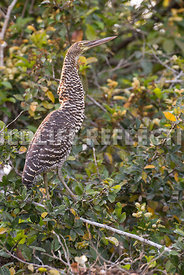 rufescent_tiger_heron_perch-1