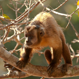 Capuchin (Brown) wildlife photos
