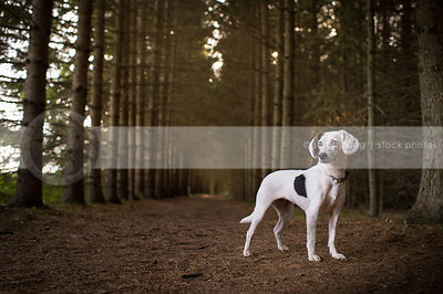 cute beagle cross dog standing at attention in forest of pine trees