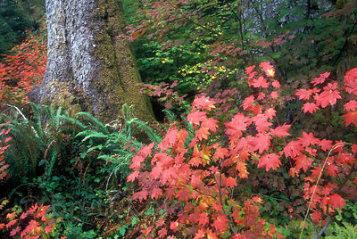 Vine maple (Acer circinatum) and Sitka spruce (Picea sitchensis) in the Hoh Valley, Olympic Rainforest, Washington