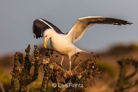 Western Gull Atop Giant Coreopsis on East Anacapa Island