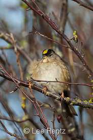 Golden-crowned Sparrow in a Thicket along Boundary Bay