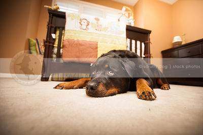 expressive black and tan rottweiler dog lying on rug indoors