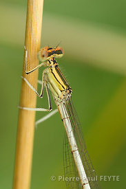 agrion-20090711-8794