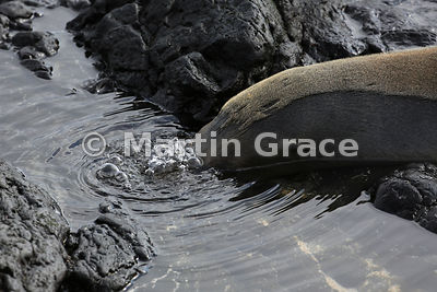 Galapagos Sea Lion (Zalophus californianus wollebacki or wollebaeki) lying with its snout below the surface of the water and blowing bubbles, Punta Suarez, Espanola, Galapagos