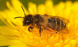 Andrena flavipes , female
