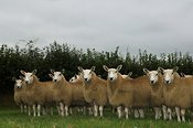 Welsh Mules out of Welsh Mountain ewes , sired by Blue Faced Leicester ram