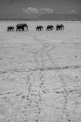 9905-Elephants_walking_in_the_arid_plain_Laurent_Baheux