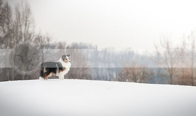 longhaired tricolor dog standing alone on ridge in winter setting