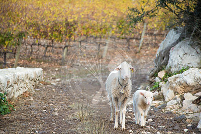 Sheep and lamb, walking through vineyard