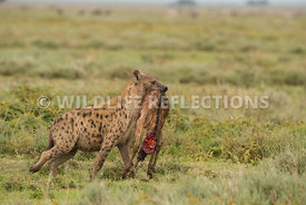 hyena_baby_wildebeest_kill_02162015-30-Edit