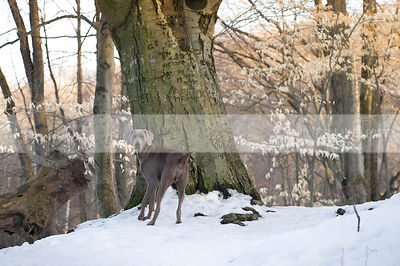 grey dog from behind looking back from tree in winter snow