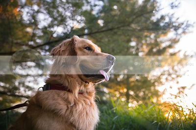 portrait of handsome golden retriever dog sitting in park at sunset