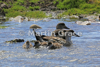 Crested Duck (Lophonetta (Anas) specularioides) pair with ducklings, Pebble Island
