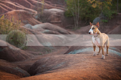 alert dog standing on ridge in red clay valley at sunset