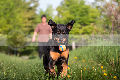 rottweiler dog with owner playing fetching ball in mowed grass