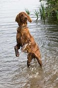 Irish setter puppy playing in water