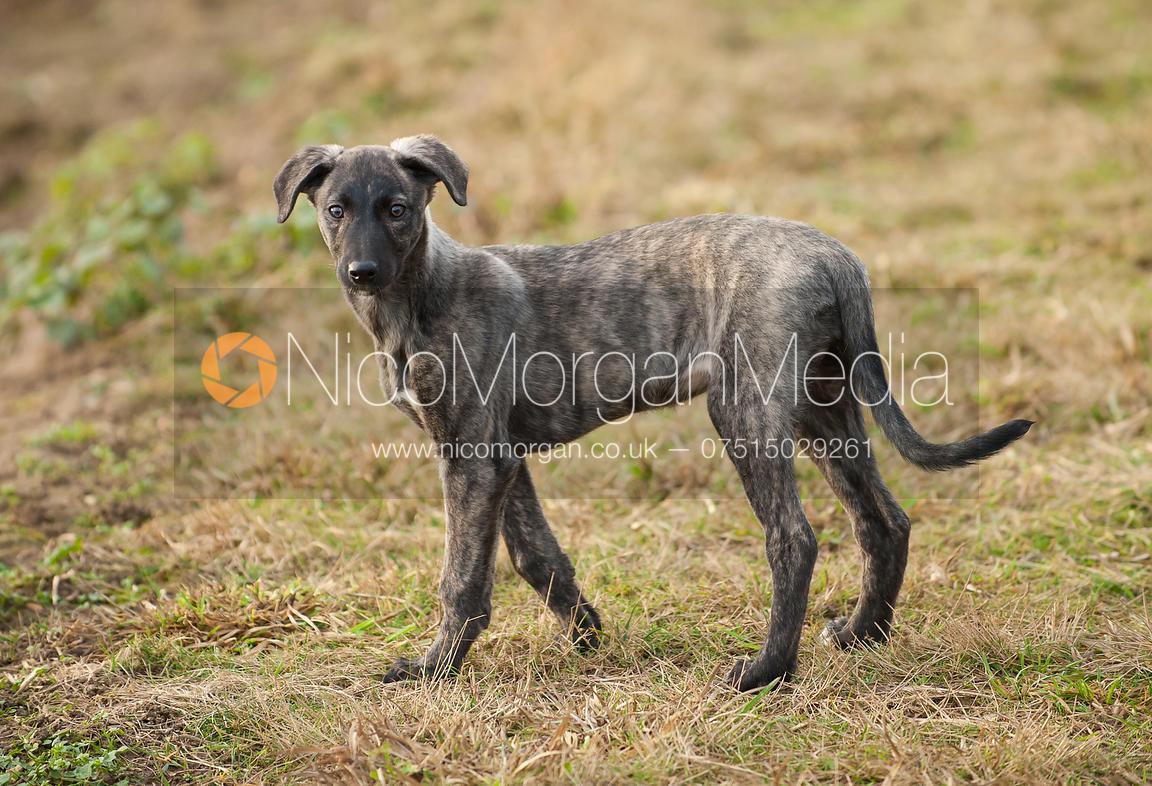 Image: Tigger, a lurcher puppy | Nico Morgan Media