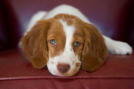 Brittany spaniel puppy close-up