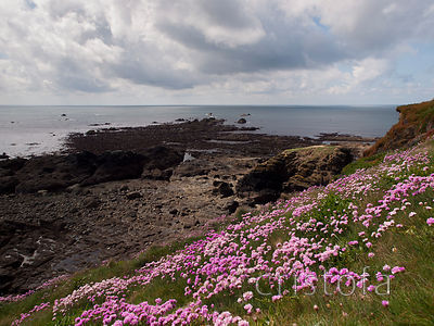 the Lizard Point at low tide with sea pinks