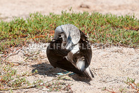 blue_footed_booby_preening_1
