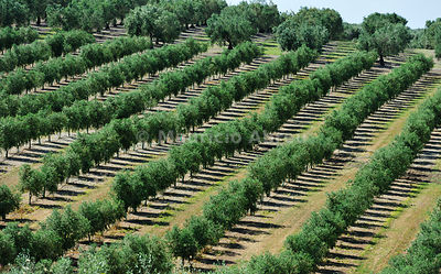 Olive groves near Serpa. Alentejo, Portugal