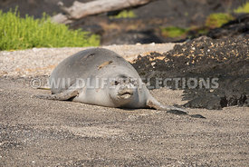 hawaiian_monk_seal_big_island_02062015-74