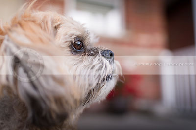 headshot of small tan dog at house with bokeh background