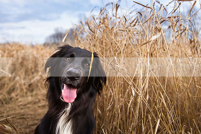 portrait of happy black and white dog in dried grasses