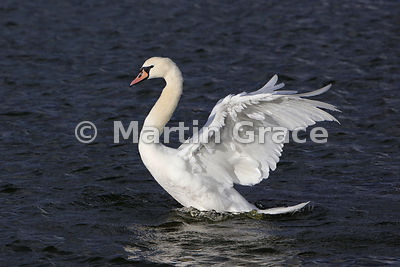 Female Mute Swan (Cygnus olor) bathing, Dumfries & Galloway, Scotland
