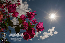 Bougainvillea Star