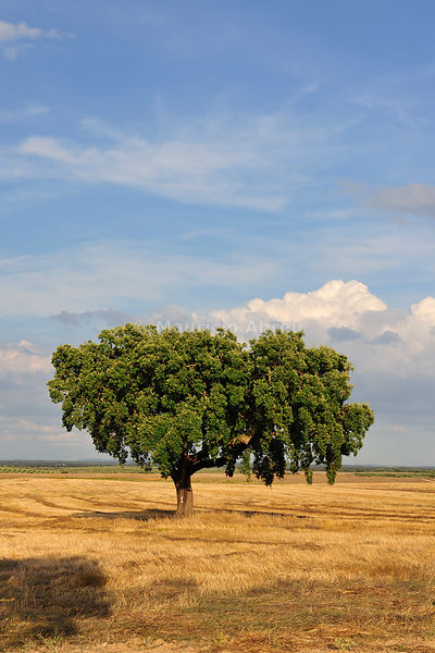 A lonely cork tree in the Alentejo plains. Portugal