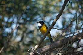Golden Whistler in a tree