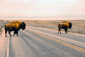Buffalo_Crossing_the_Road