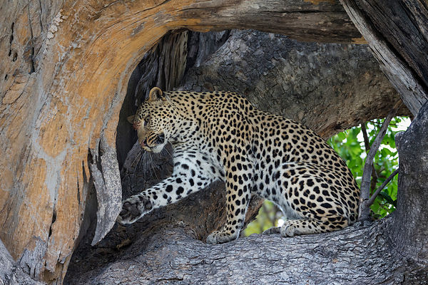 Female Leopard Acting Playfully in a Tree