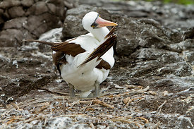 A Nazca Booby shows off it's brown wings and orange beak on the shoreline of Espanola Island.