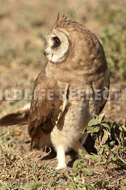 african_marsh_owl_looking_back