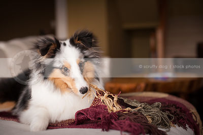 cute sheltie dog chewing blanket on couch at home indoors