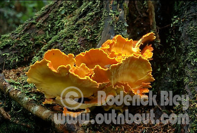 Orange Shelf Mushroom