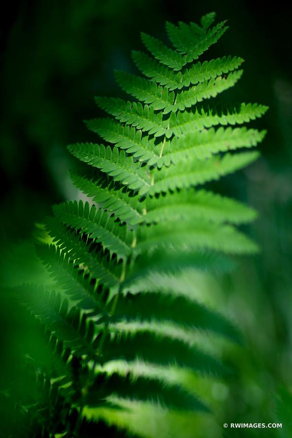 FERN LEAF ADIRONDACK MOUNTAINS